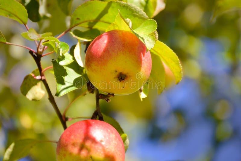 Sappige appelen op een tak Close-up Autumn Fruits stock afbeelding