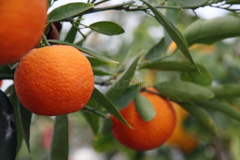 Sappige die Sinaasappel op fruitbomen wordt gehangen stock foto