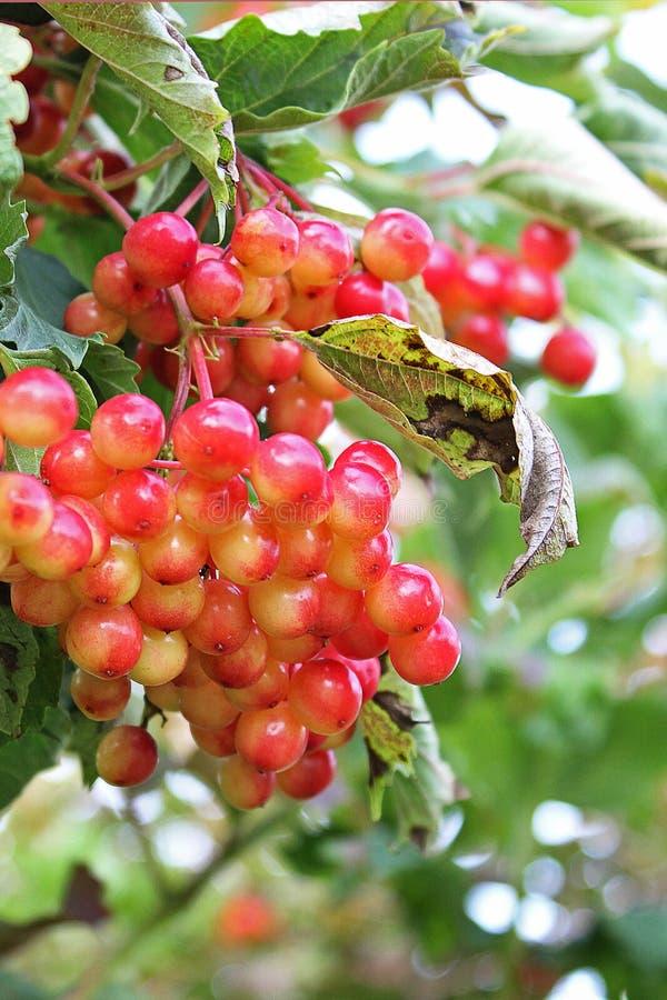 Sappige viburnum op de boom stock fotografie