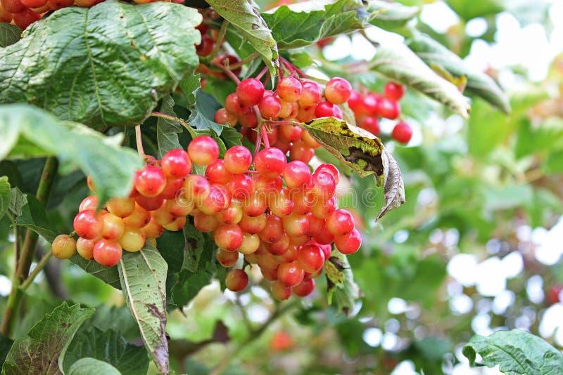Sappige viburnum op de boom stock afbeelding