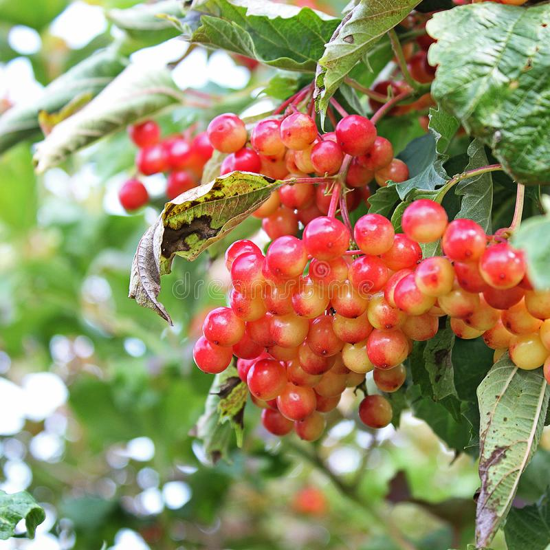 Sappige viburnum op de boom stock foto's