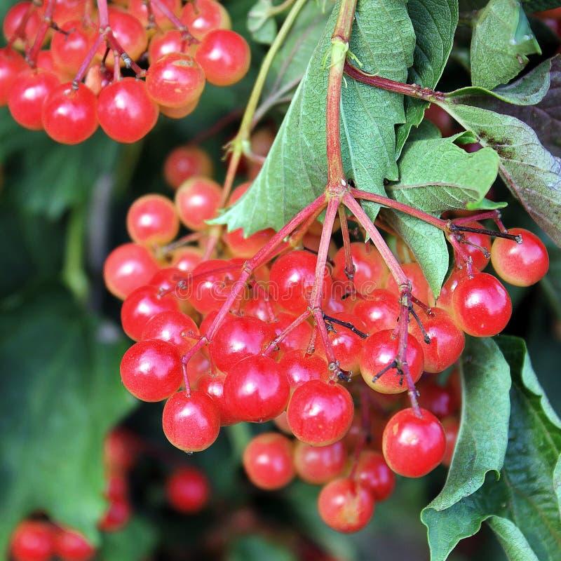 Sappige viburnum op de boom stock afbeeldingen