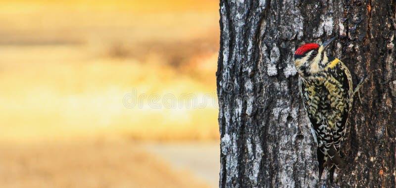 Sapsucker sur l'arbre R image stock