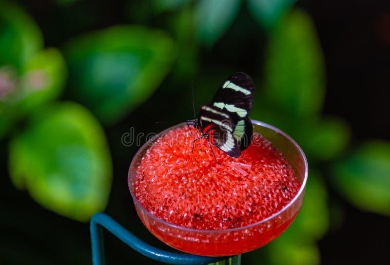 Sara που η πεταλούδα Heliconius sara που σκαρφαλώνει σε έναν σταθμό σίτισης στοκ εικόνες με δικαίωμα ελεύθερης χρήσης