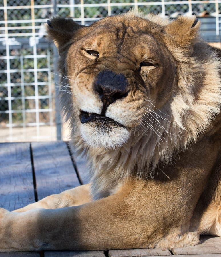 Sara la leona de 16 años que muestra su impresión de Elvis fotografía de archivo