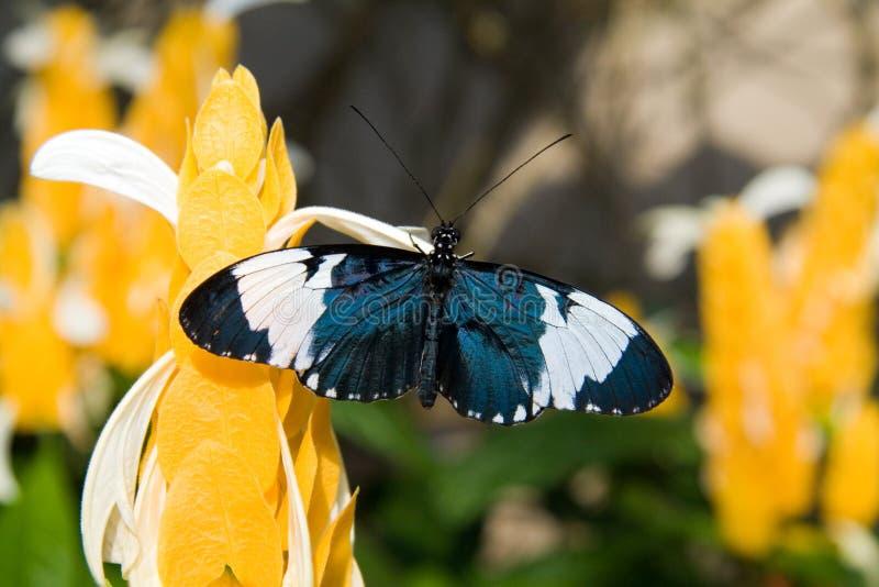 Sara Longwing Butterfly stock fotografie