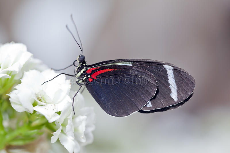 Sara Longwing Butterfly royalty-vrije stock foto's