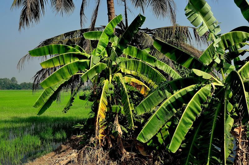 Saraburi, Thailand: Banaanbomen en Padieveld stock afbeelding