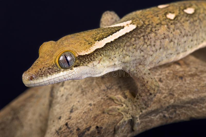 Sarasin-` s riesiges Gecko Correlophus-sarasinorum lizenzfreie stockfotos
