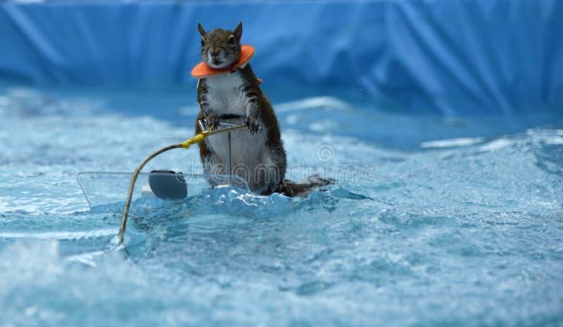 Sarasota, FL April 2018 de meester van water het ski?en Twiggy de Eekhoorn stelt tijdens haar laatste show alvorens zich terug te royalty-vrije stock afbeeldingen