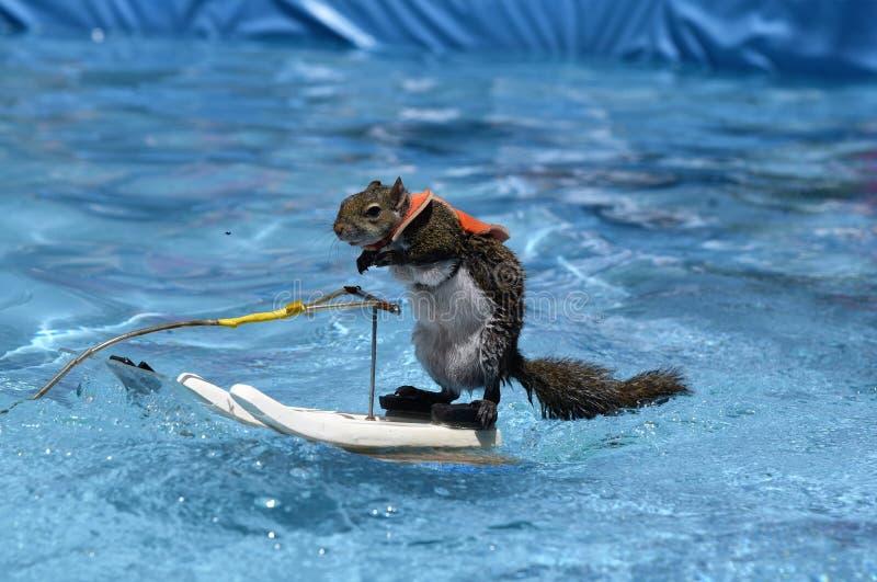 Sarasota, FL pose do perfil do abril de 2018 do mestre do esqui aquático Twiggy o esquilo durante sua última mostra antes de apos fotografia de stock royalty free