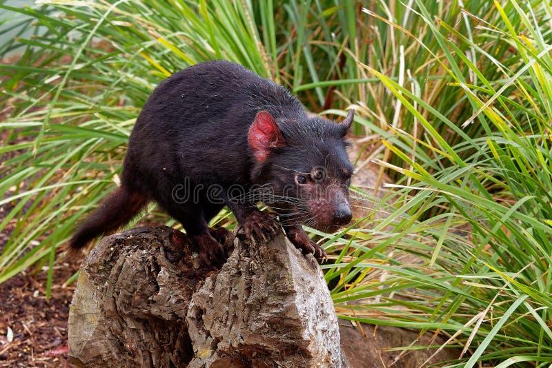 Sarcophilusharrisii - Tasmanian jäkel i natten och dagen royaltyfria foton