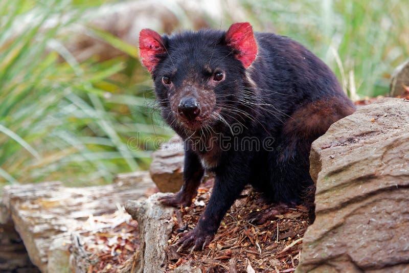Sarcophilusharrisii - Tasmanian jäkel i natten och dagen arkivfoto