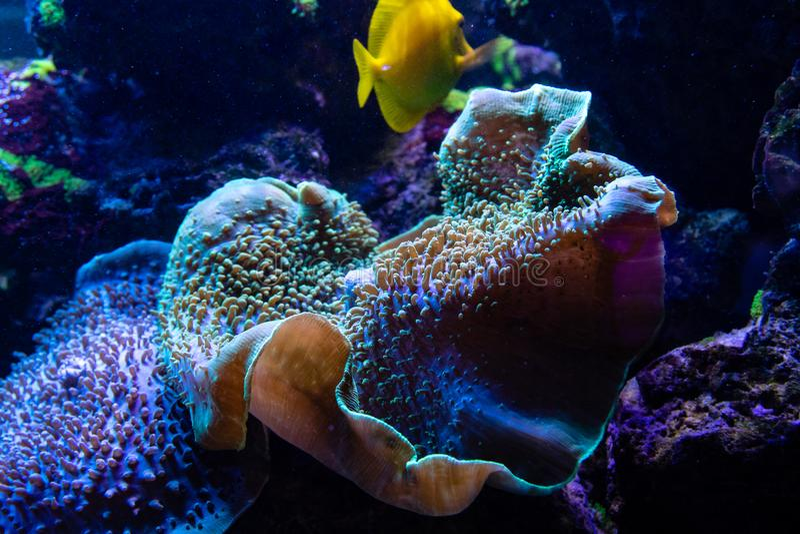 Sarcophyton, cogumelo-como o coral coriáceo fotos de stock royalty free