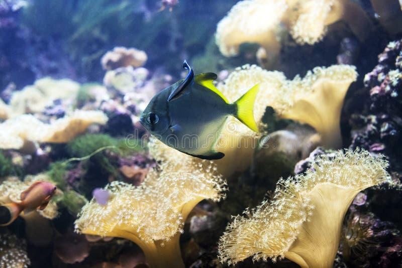 Sarcophyton coral de couro e o peixe azul nadam no aquário foto de stock royalty free