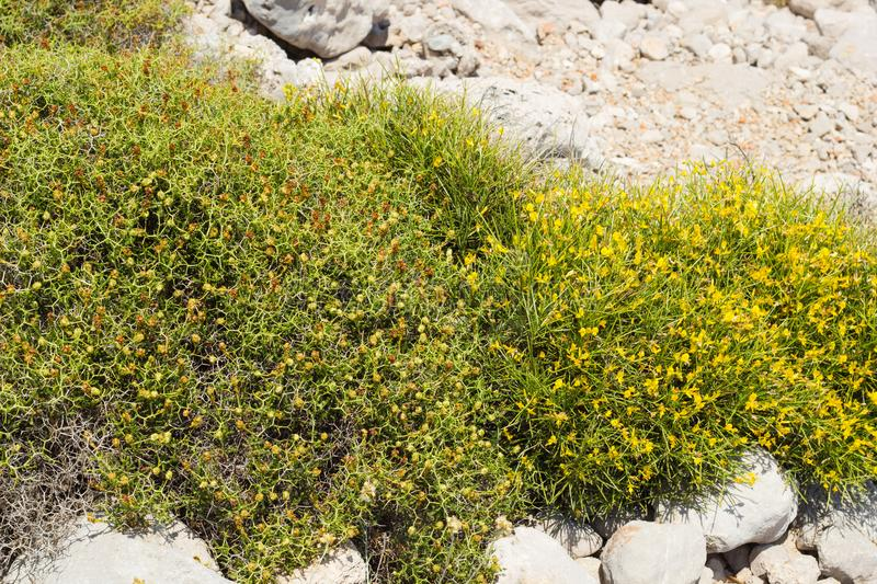 Sarcopoterium spinosum and Genista. Thorny shrubs common near coast of Mediterranean Turkey royalty free stock photos