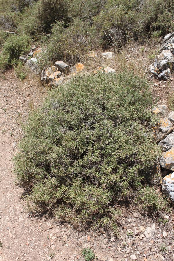 Sarcopoterium spinosum. Thorny bush plant stock photo