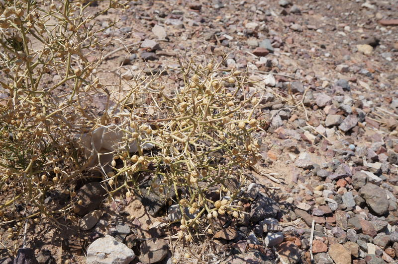 Sarcopoterium spinosum. Thorny desert plant stock photography