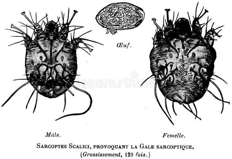 Sarcopte-oa Free Public Domain Cc0 Image