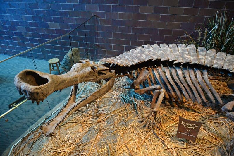 Sarcosuchus-Skelett am Museum der Kinder von Indianapolis lizenzfreies stockfoto