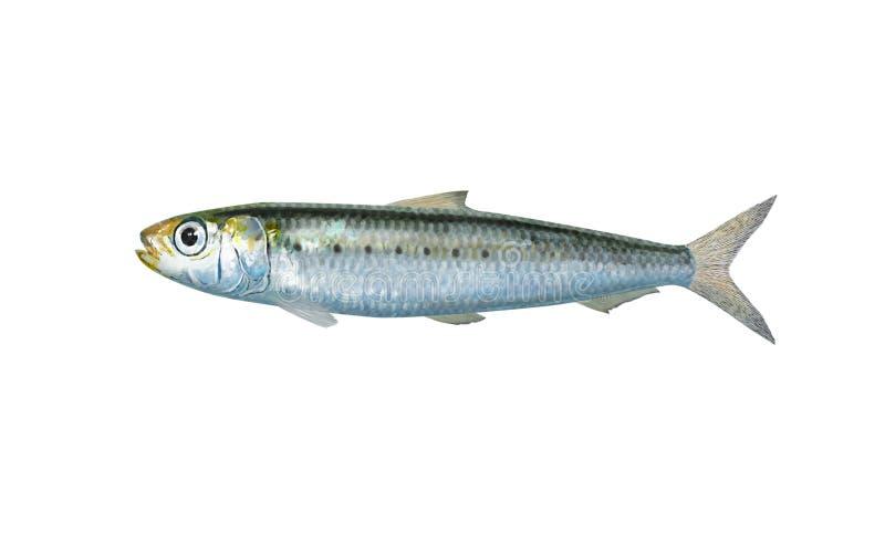 sardina imagenes de archivo