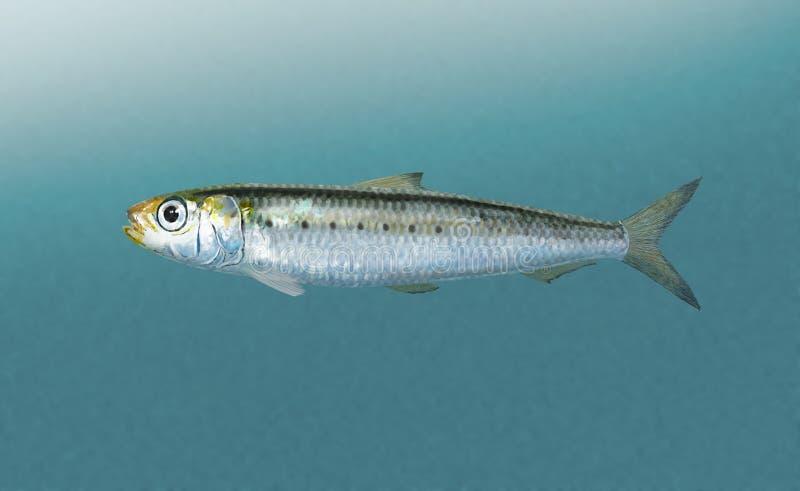 sardine lizenzfreie stockfotos