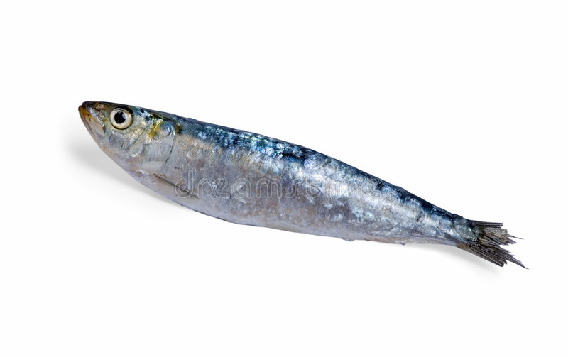 Sardine. Close up off one sardine on white with a little shadow on the background stock photography