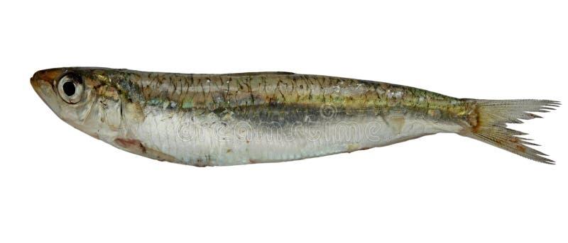 Sardine. Raw sardine isolated on white royalty free stock photos