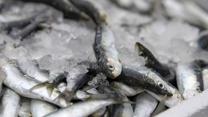 Sardine fish lying in the snow on the market. Greece stock photos