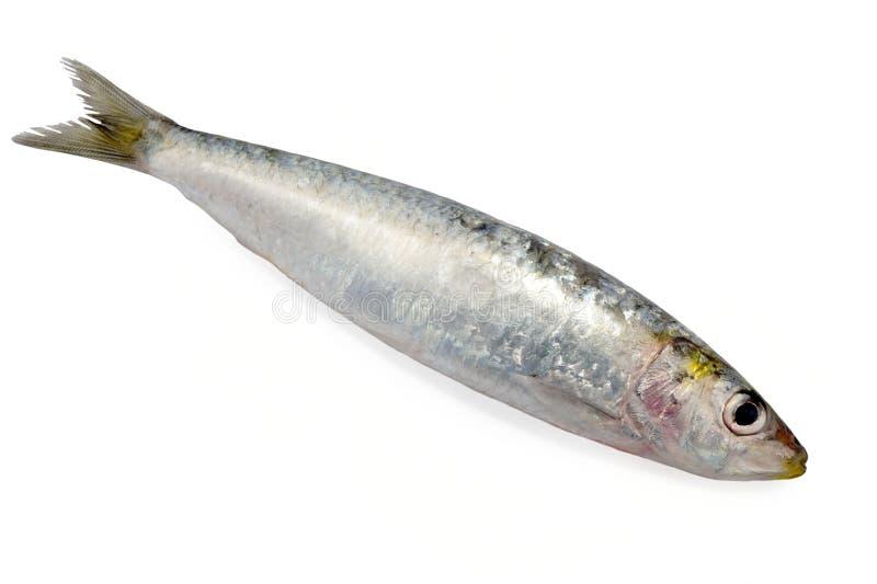 Sardine isolated. On white background royalty free stock images
