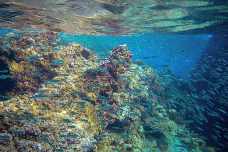 Sardine school in coral reef. Coral reef underwater photo. Mackerel shoal. Tropical seashore snorkeling stock photography