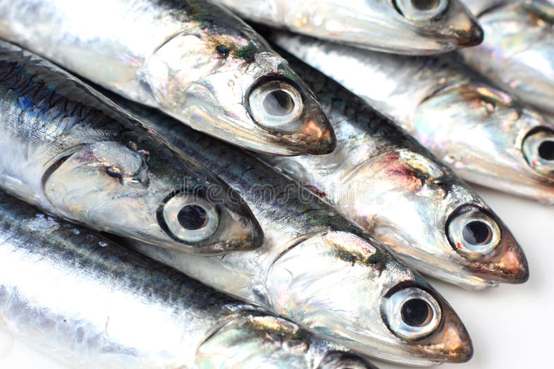 Sardines. Or pilchards - small sea fish royalty free stock images