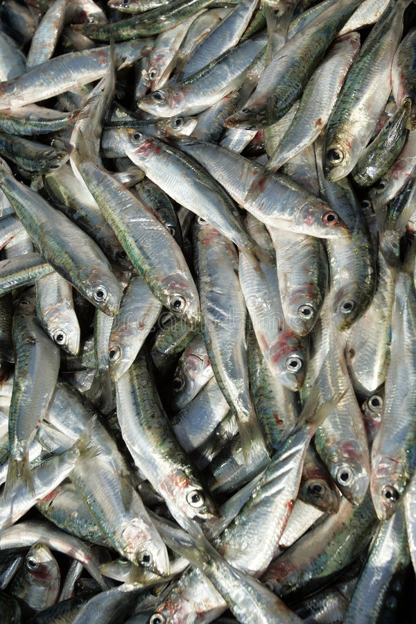 Sardines. Fresh sardines in fish market , Croatia royalty free stock photos