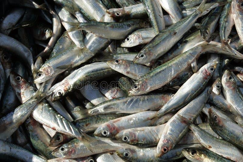 Sardines. Fresh sardines in fish market , Croatia royalty free stock photo