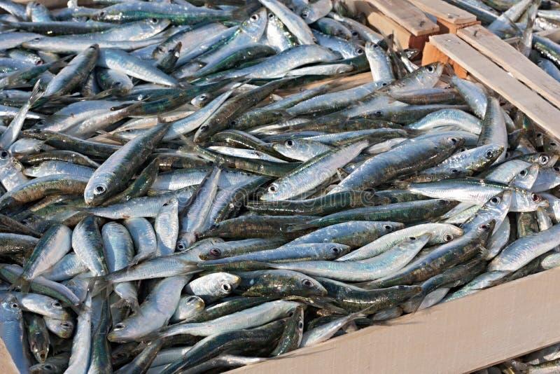 Sardines. Mediterranean sardines, crates of freshly caught oily fish royalty free stock photos