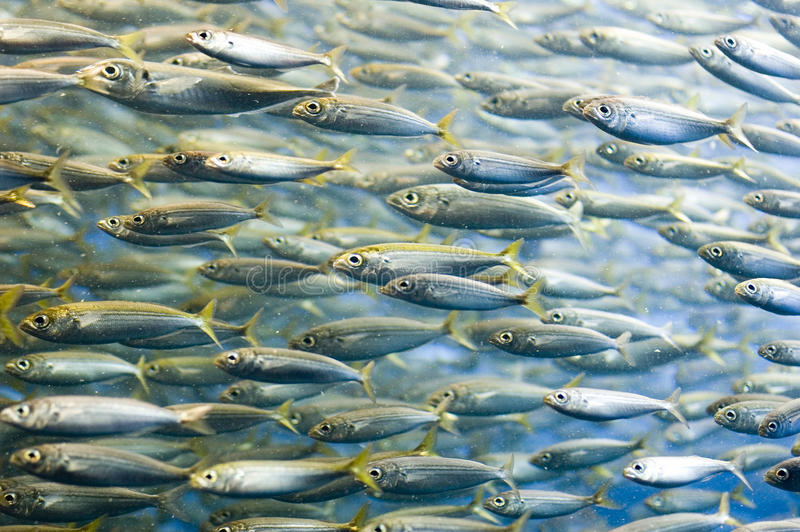 Sardines. A shoal of sardines swimming in one direction stock images