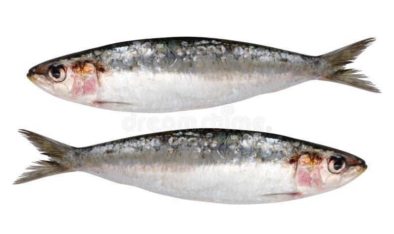 sardines d'isolement fraîches deux photos libres de droits