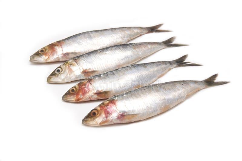 Sardines d'isolement sur le blanc. photographie stock libre de droits