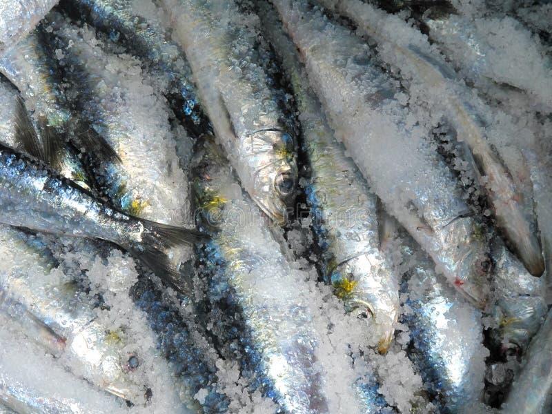 Sardines en sel images libres de droits