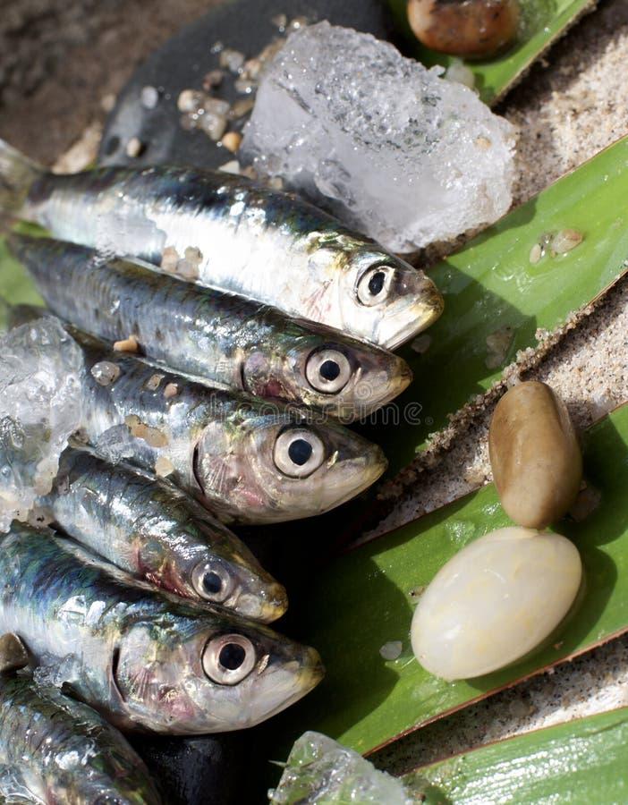 Sardines fraîches crues photographie stock libre de droits