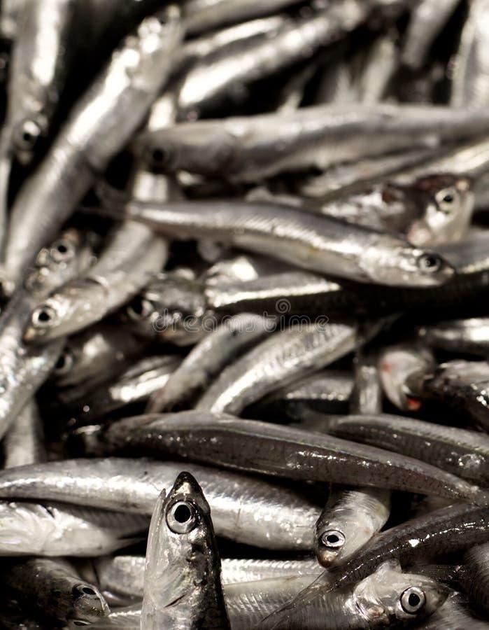 Sardines fraîches crues photo libre de droits