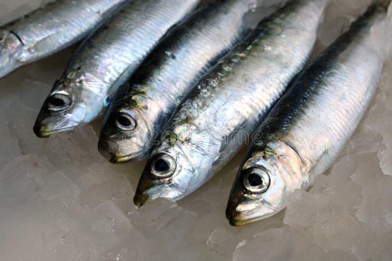 Sardines fraîches d'eau salée photographie stock libre de droits