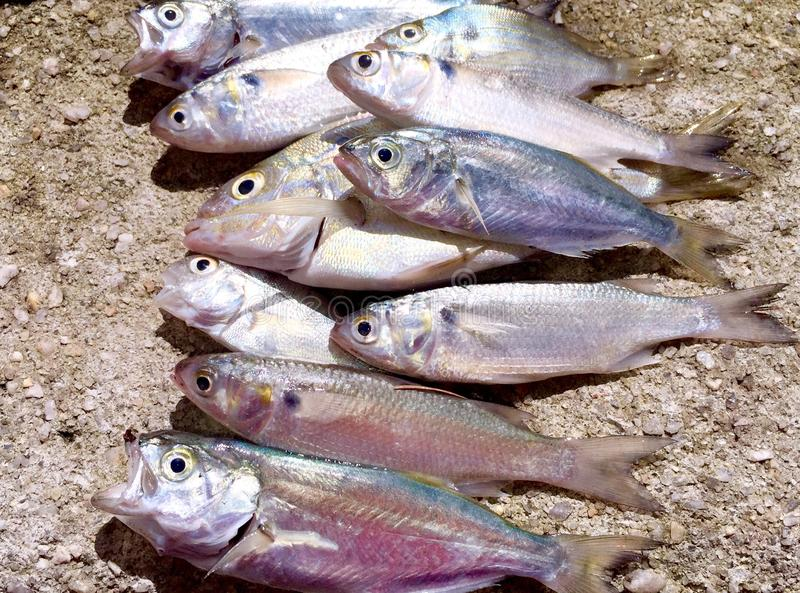 Sardines. Groups of different types of fish. Food from the sea a healthy choice food to eat from nature stock photos