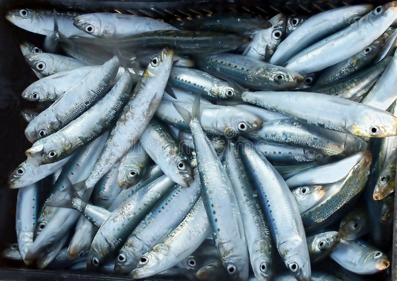 Sardines of pelsers stock foto's