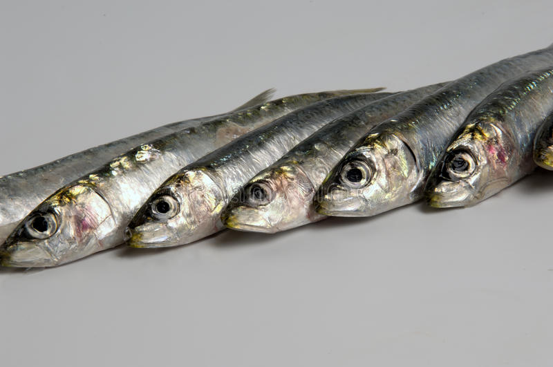 Sardines. In a row on grey royalty free stock images