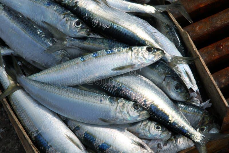 Sardines sur un marché de poissons image stock