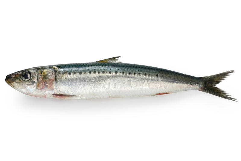Sardinha japonesa, sardinha japonesa fotografia de stock