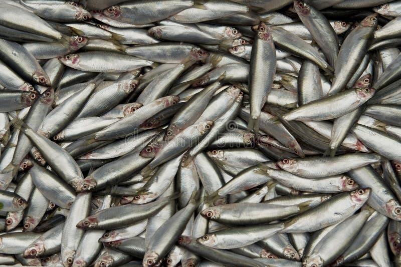 Sardinhas ou sardinhas foto de stock royalty free