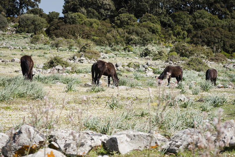 Sardinia. The Giara horses stock photo