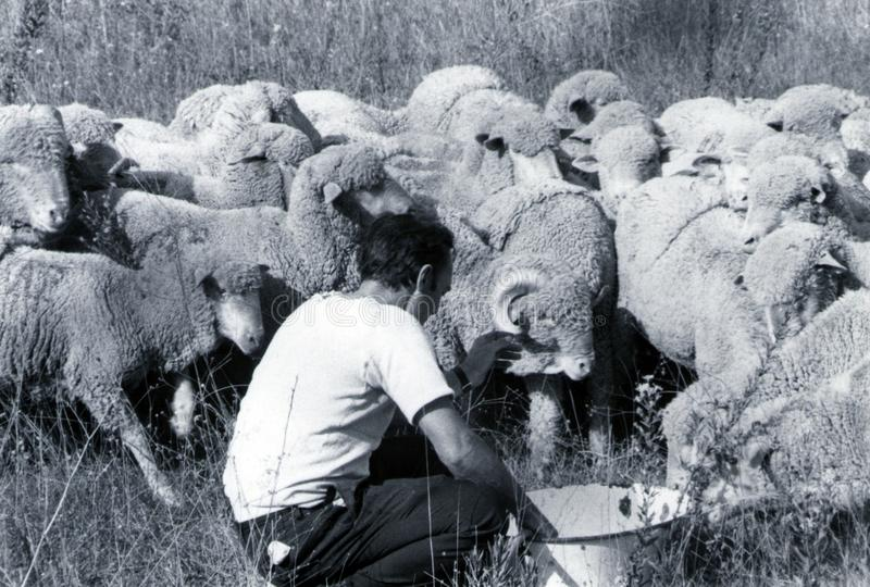 SARDINIA, ITALY, 1970 - A Sardinian shepherd takes care of the sheep of his flock that rush stock images